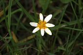 stock photo of celandine  - Lesser celandine with unusual white and yellow bloom - JPG