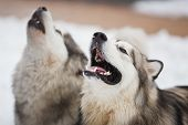 stock photo of husky sled dog breeds  - Two dogs breed of malamutes on the snow - JPG