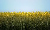 image of rape-seed  - Oilseed rape (Brassica napus) blossom horizon from field.