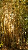 foto of bamboo forest  - Yellow old bamboo forest in dry season - JPG