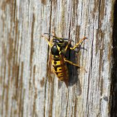 foto of exoskeleton  - Queen of a german wasp (Vespula Germanica) grating wood.
