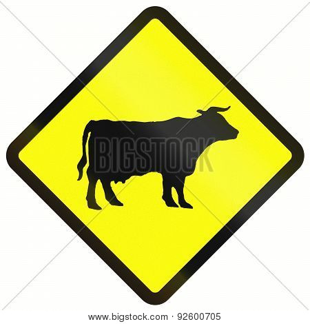 Cattle Crossing In Indonesia