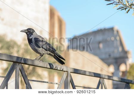 Crow In Rome