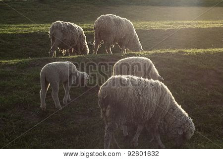 Small Flock Of Sheep Grazing In An Open Field