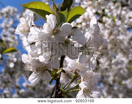 Sweet cherry flowers