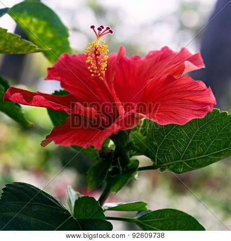 Hibiscus red flower close up single one square
