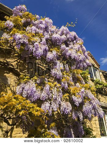 Wisteria On A Honey-coloured Stone Cottage