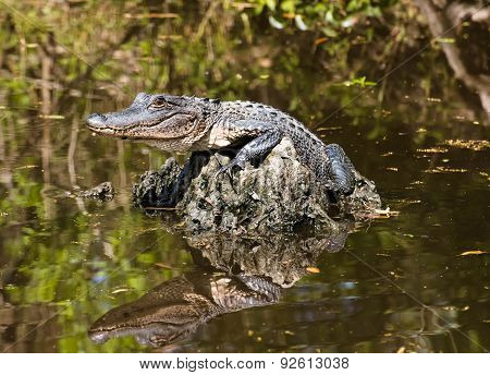Baby Alligator Lying In The Middle Of The Swamp