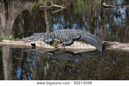Alligator Lying In The Middle Of The Swamp