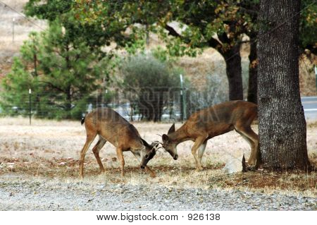 Deer - Bucks Rutting