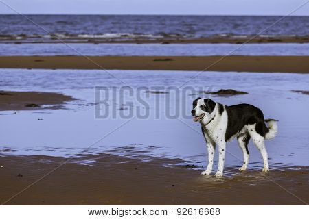 Mixed breed dog on a northern beach.