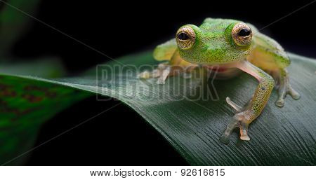 Tropical glass frog, exotic small amphibian from Amazon rain forest Hyalinobatrachium mondolfii Beautiful night animal