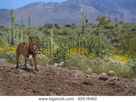 Dog Running In The Arizona Desert