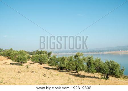 Cork Oakt Trees