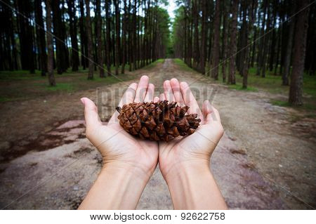 Hands Holding Pine Tree Seed Show Conservative Idea.