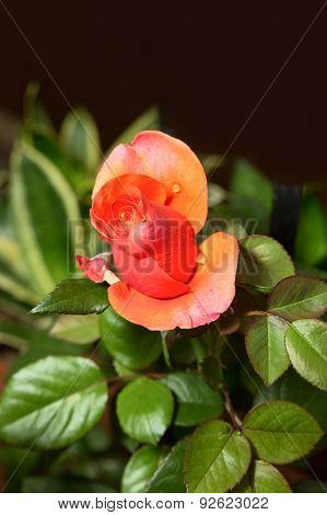 Bud Of Rose With Dew