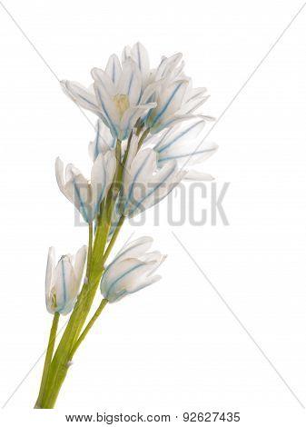 White Blue Delicate Flower Puschkinia Niatsintnoides