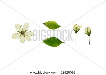 Pressed And Dried Plum Flowers. Isolated On White Background