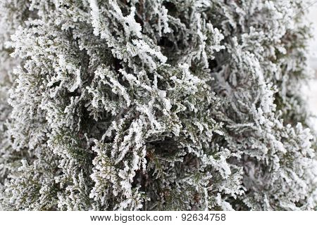 Coniferous (thuja) Branches Covered With Hoarfrost
