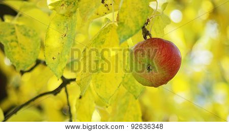 Apple in orchard . Morning shot