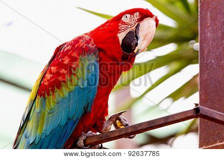 Red Macaw Or Ara Cockatoos Parrot