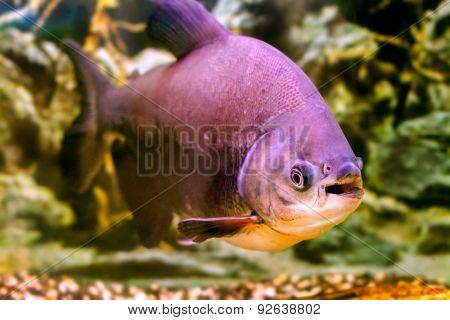 A Beautiful Aquarium Fish Black Pacu