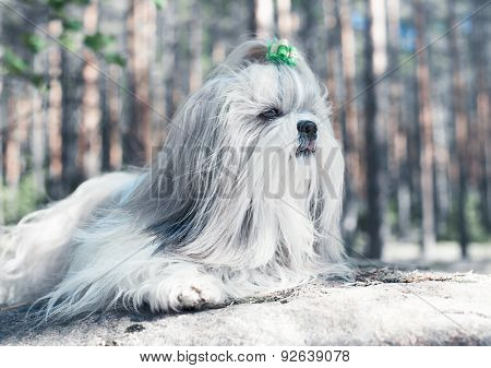 Shih-tzu dog lying on stone and looking aside. Bright white colors.