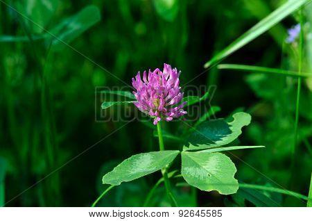 Red clover, Meadow clover,Trifolium pratense