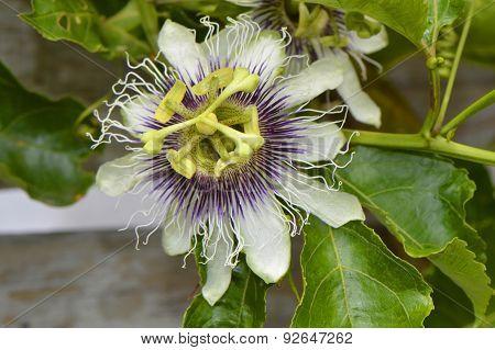 Passion vine Latin name passiflora Possum Purple