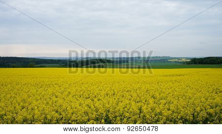 Rapeseed field in the spring