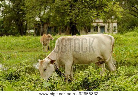 cattle gerazing in an open grass field