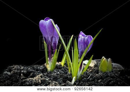 Crocus Spring Flowers On Black