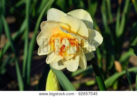 Narcissus Terry