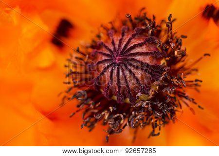 Macro Photo of a Bright Orange Poppy Flower