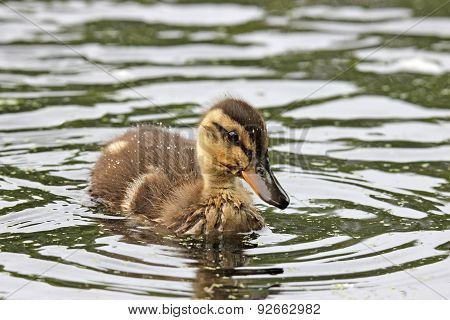 One Little Duckling