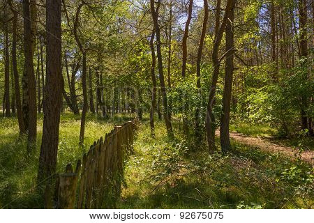 Clearing in a pine forest in sunlight in spring