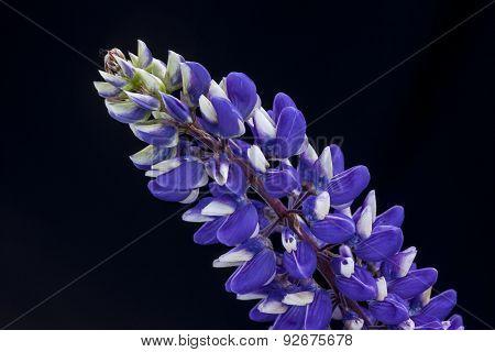 Studio Shot Of Lupine Flower.