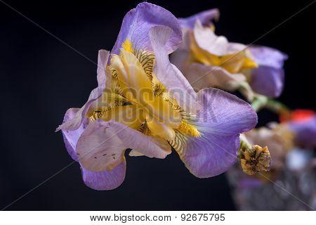 Macro Of Iris Flower.