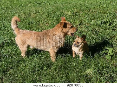 Meeting Of Two Red Dogs. The Conflict Over Territory
