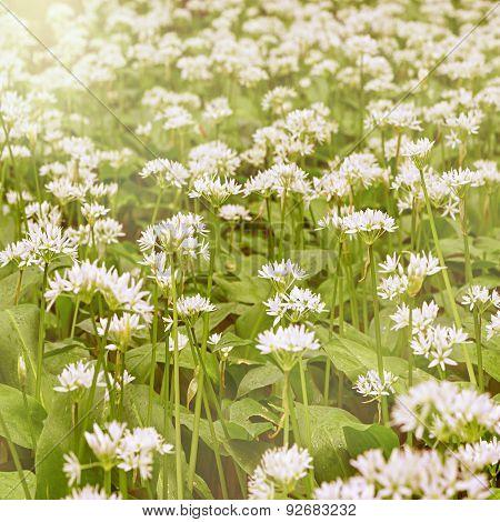 White flowers of ramsons or wild garlic.