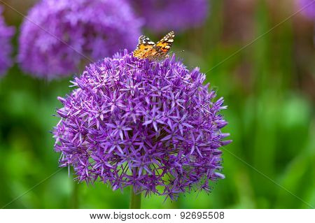 Butterfly on the Allium flower
