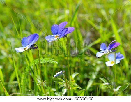 Heartsease, Viola tricolor