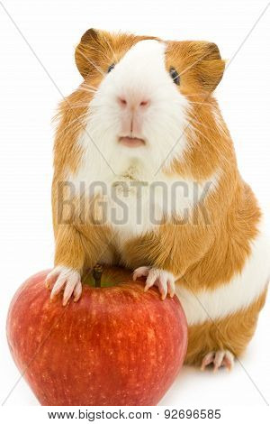 guinea pig  and red apple isolated on white