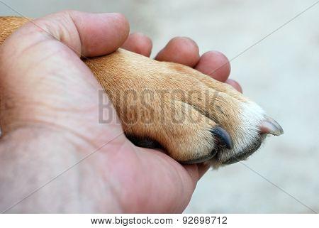 Man hand holding amstaff dog paw