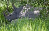 picture of rhino  - A White Rhinoceros sleeping in the grass at Ziwa Rhino Sanctuary in Uganda - JPG