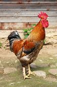 stock photo of roosters  - Beautiful Rooster Colorful chicken farm - JPG