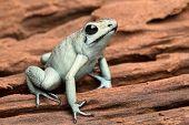 stock photo of exotic frog  - poison arrow frog - JPG