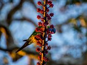 stock photo of lorikeets  - Rainbow Lorikeet feeding on red berries of an umbrella tree - JPG