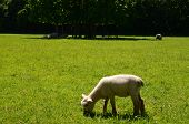 pic of spring lambs  - A young lamb grazing on lush pasture grass on a Sussex farm in Spring - JPG