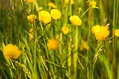 picture of buttercup  - Green meadow with blooming yellow buttercup flowers - JPG